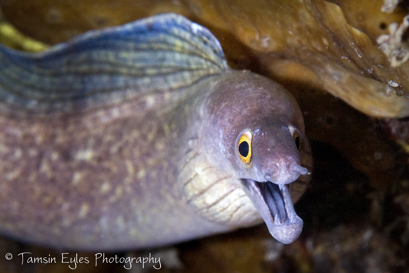 purplemouth moray gymnothorax vicinus