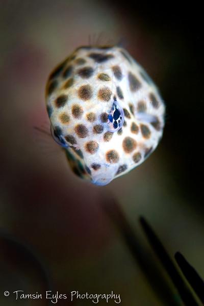 spotted trunkfish lactophrys bicaudalis juvenile
