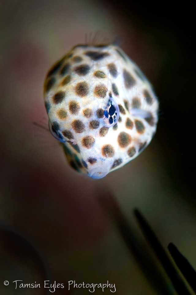 spotted trunkfish lactophrys bicaudalis juvenile