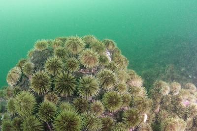 Green sea urchin Bay of Fundy