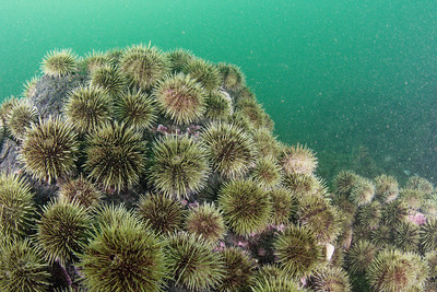 Swarm of green sea urchins Bay of Fundy