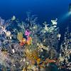 John hynes explores a Black Coral tree at 60m. Poor Knights
