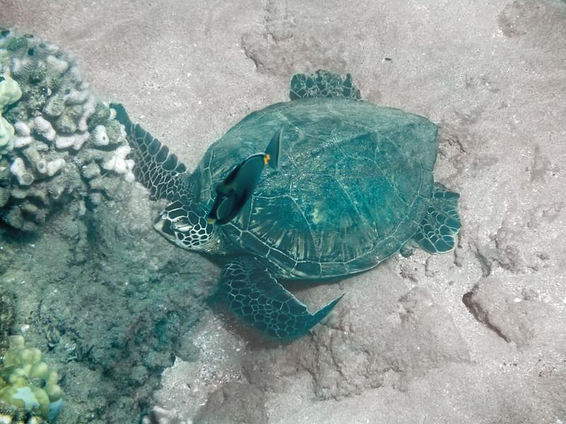 Honu Green Sea Turtle