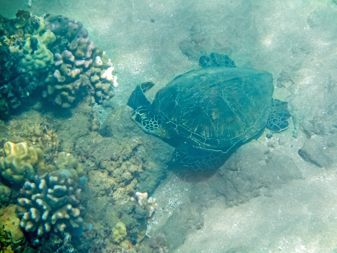 Honu Green Sea Turtle