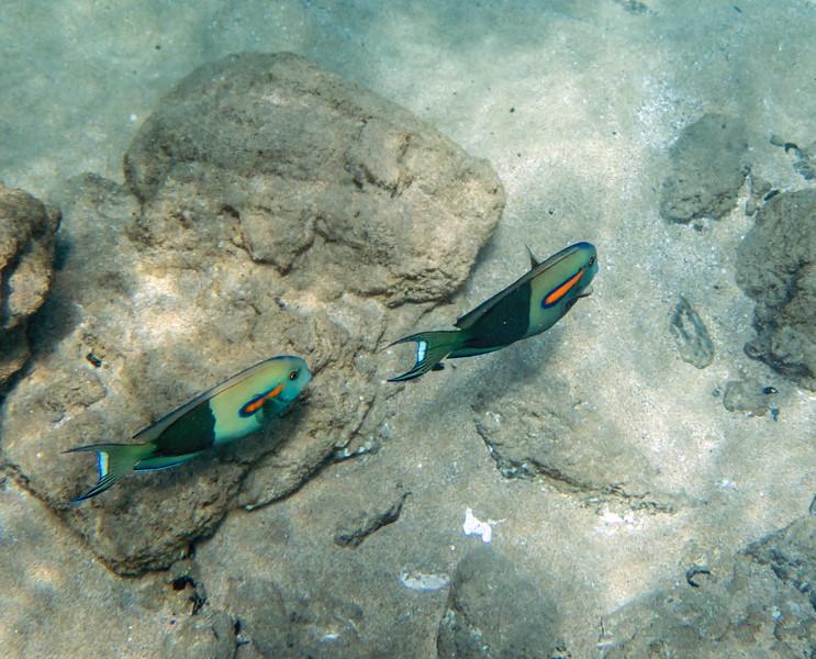 Nae Nae Orangeband Surgeonfish