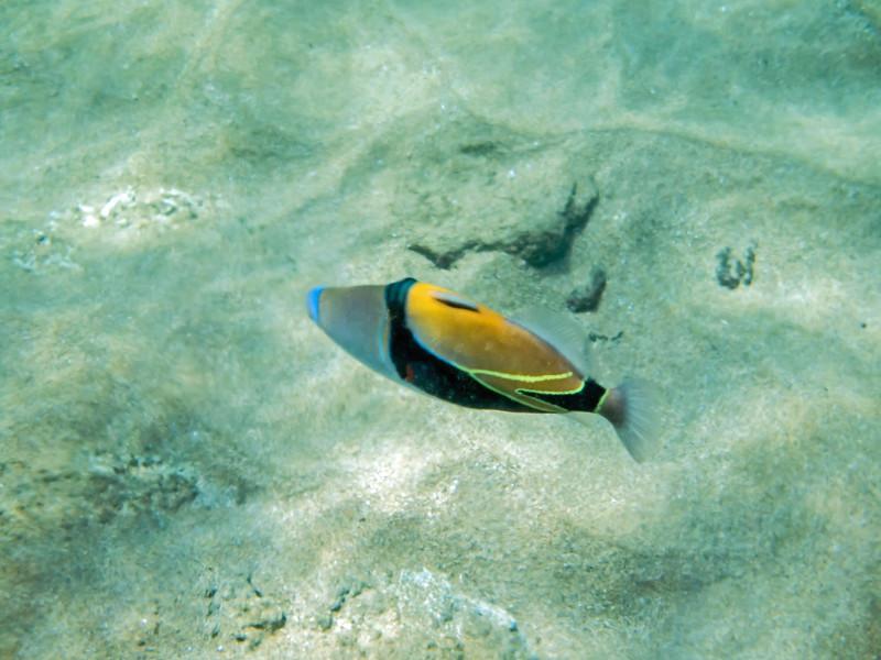 Rectangular Trigger Fish
