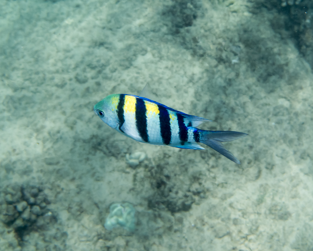 Convict Tang Fish