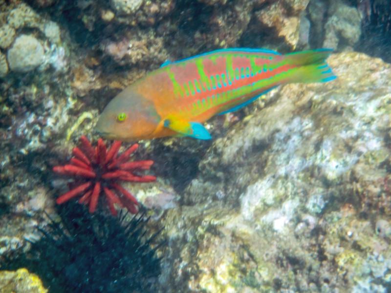 Ornate Wrasse Fish