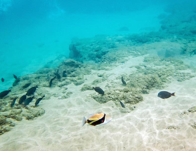 Rectangular Triggerfish