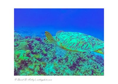 Hawksbill Turtle, West End, Grand Cayman Island