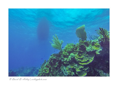 Reef scene with Common Sea Fan, Sea Plume, and Sheet Coral, East End, Grand Cayman Island