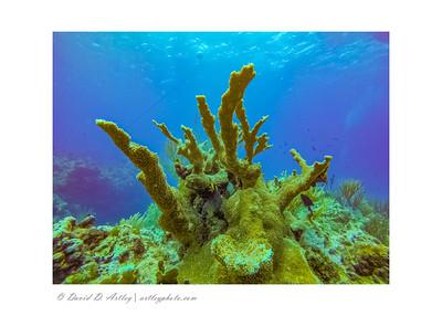 Elkhorn Coral, East End, Grand Cayman Island
