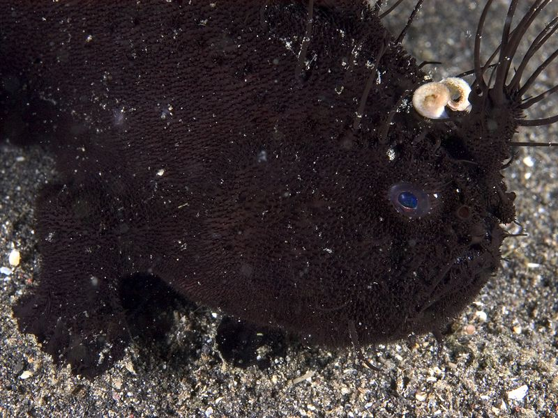 Black hairy frogfish.  Very difficult to photograph well, due to the dark color!