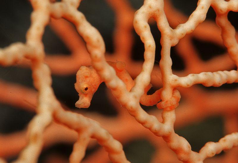 Pygmy seahorse. Hippocampus denise.