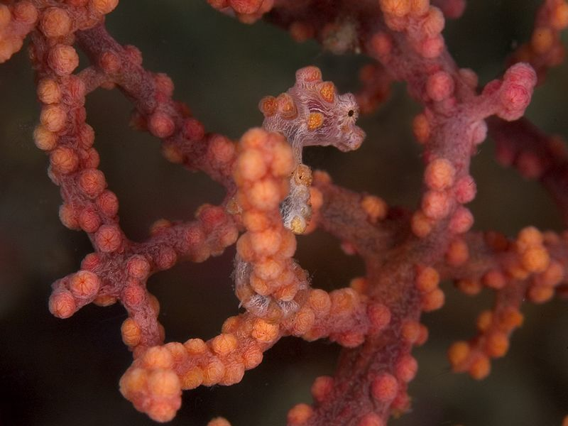 Pygmy seahorses live in certain varieties of Gorgonian sea fans. This little guy is less than 1cm tall.