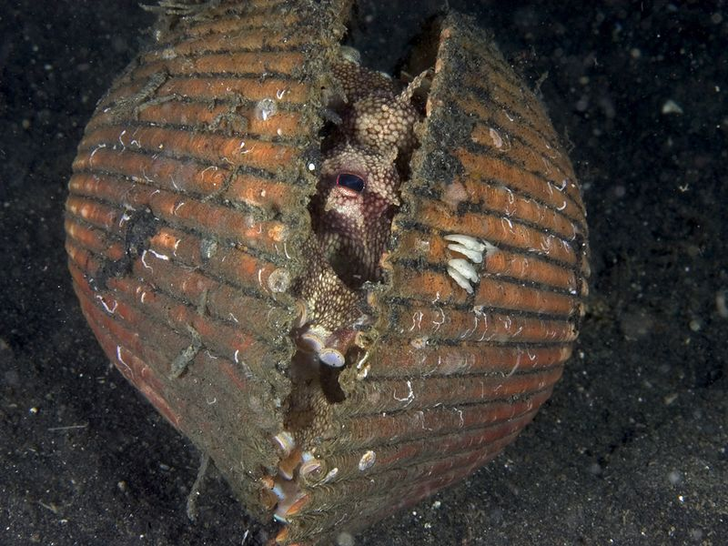 This little octopus lives in this shell.