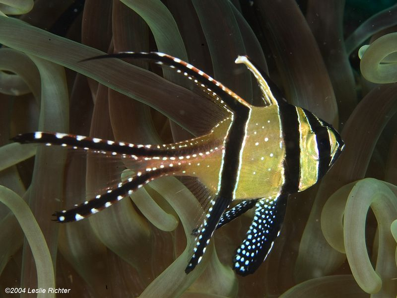 Bangai cardinalfish.  This beautiful fish was introduced into the Lembeh Straights from another part of Indonesia. It now lives in the amenomes along with the anemonefish. It is not yet known what impact this will have on the native anemone fish.