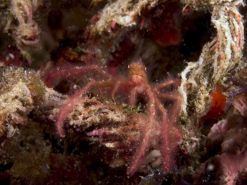 Living on an old piece of rope, this small crab is camouflaged with algae.
