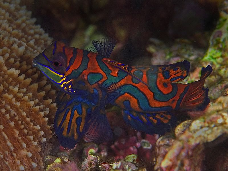 Mandarin fish are some of the most beautiful fish on the reef - but you can only see them at dusk when they come out to spawn.  Synchiropus splendidus.