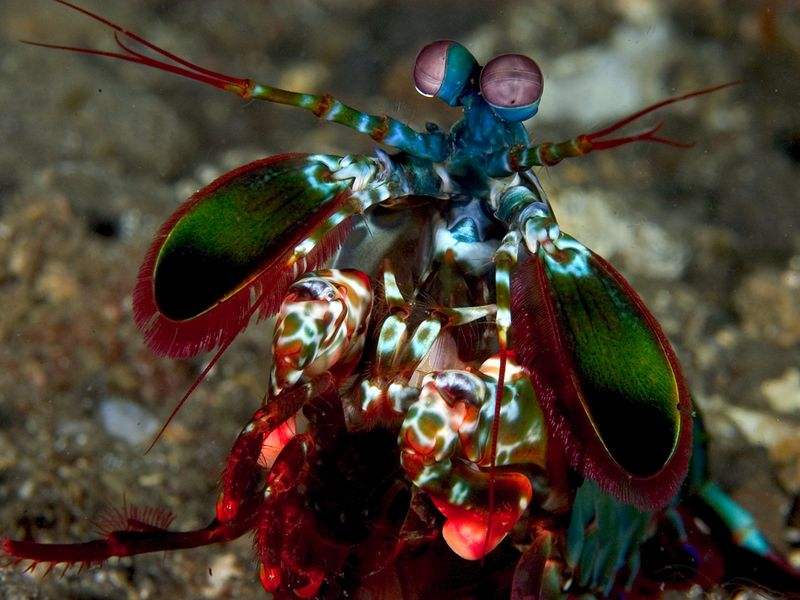Mantis shrimp are some of the most beautiful and entertaining animals in the sand!