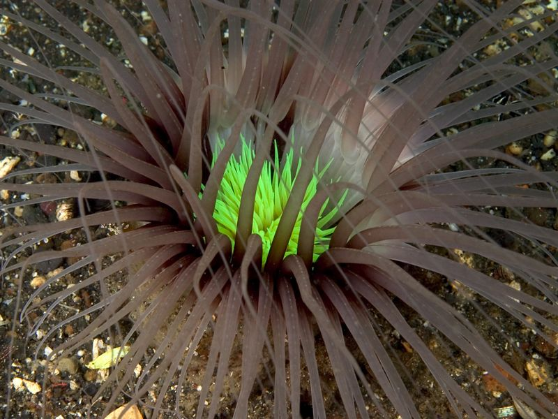Tube anemone.