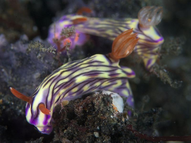 Nudibranchs.  Nembrotha