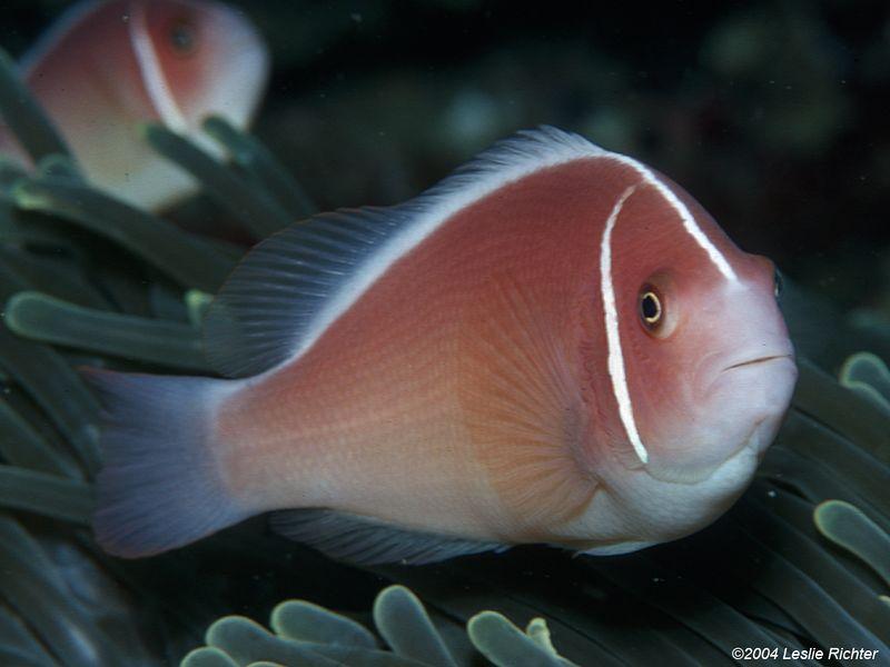 Pink anemonefish.