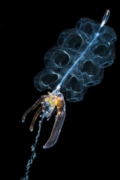Siphonophore - Physophora Hydrostatica