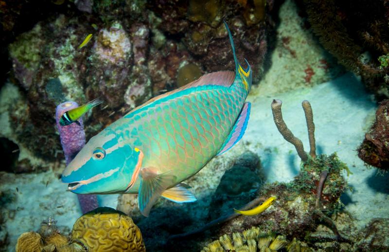 parrott fish