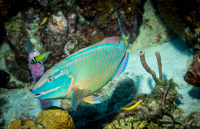 Parott fish and Wrasse