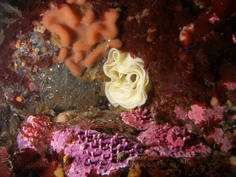 The yellow lace structure in the middle is nudibranch eggs.