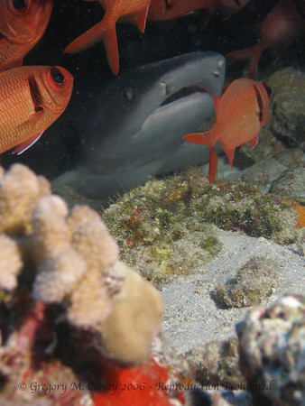 OLYMPUS C-7070.  About a 6 foot nurse shark in a small cave in the coral.