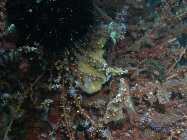 OLYMPUS C-7070.  Frogfish.