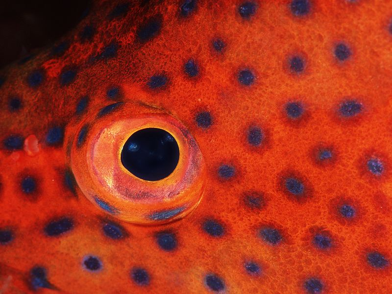 Grouper eye_72dpi