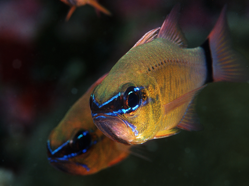 Cardinal fish_72dp_800x600 copy