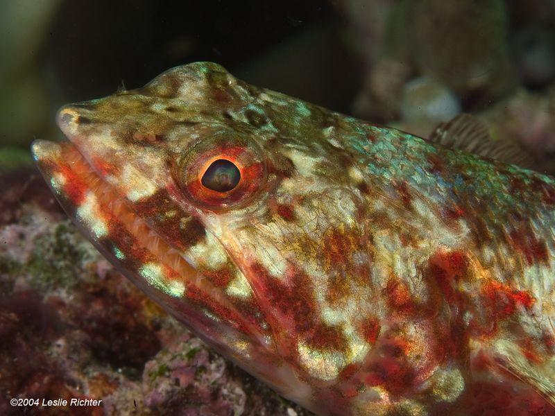 RA_Lizardfish_0019_72dpi