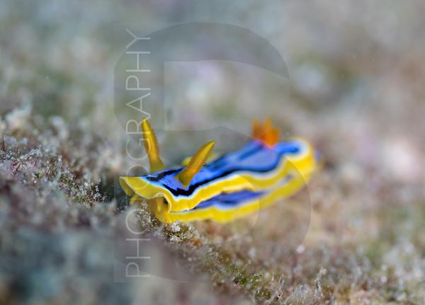 Nudi (Chromodoris annae)