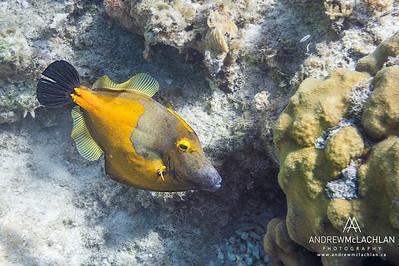 White-spotted Filefish (Cantherhines macrocerus) - Orange Phase