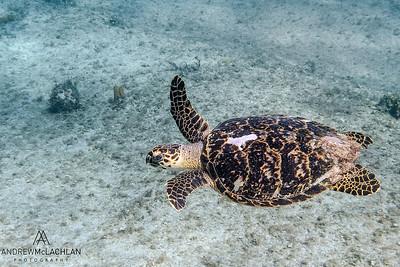 Hawksbill Turtle (Eretmochelys imbricata) at Sylvia's Reef, Cayman Brac, BWI
