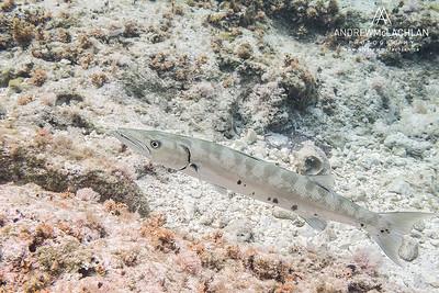 Great Barracuda (Sphyraena barracuda), Cayman Brac, Cayman Islands, BWI