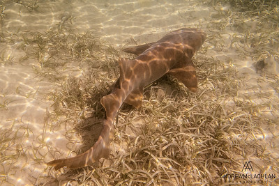 Nurse Shark (Ginglymostoma cirratum), Cayman Brac, BWI