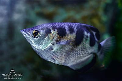 Archer Fish - captive