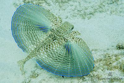 Flying Gurnard (Dactylopterus volitans), Cayman Brac, BWI