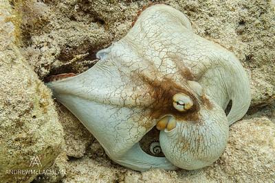 Octopus (Octopus vulgaris), Cayman Brac, BWI