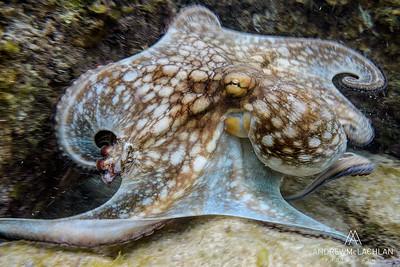 Common Octopus (Octopus vulgaris)