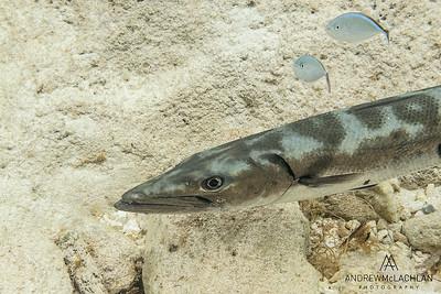 Barracuda (Sphyraena barracuda), Cayman Brac, BWI