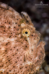 Frogfish - captive