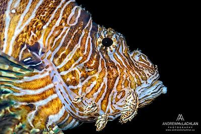 Lionfish - captive