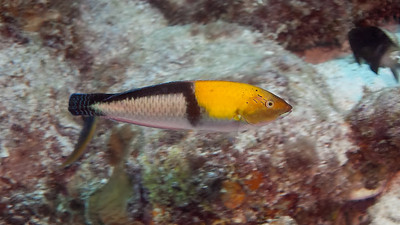 Yellowhead Wrasse