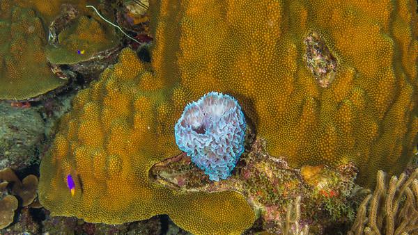Azure Vase Sponge and Boulder Star Coral